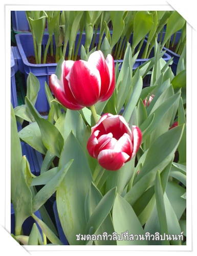 tulip_at_non_2.jpg