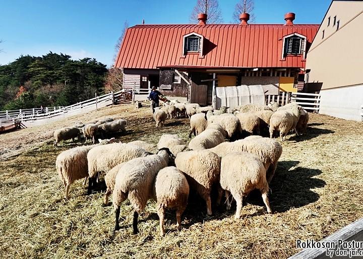 โดนใจไปญี่ปุ่น >> Rokkosan Pasture : ฟาร์มสัตว์ภูเขารกโกะ เดินเล่นกลางฝูงแกะ, โกเบ, ญี่ปุ่น